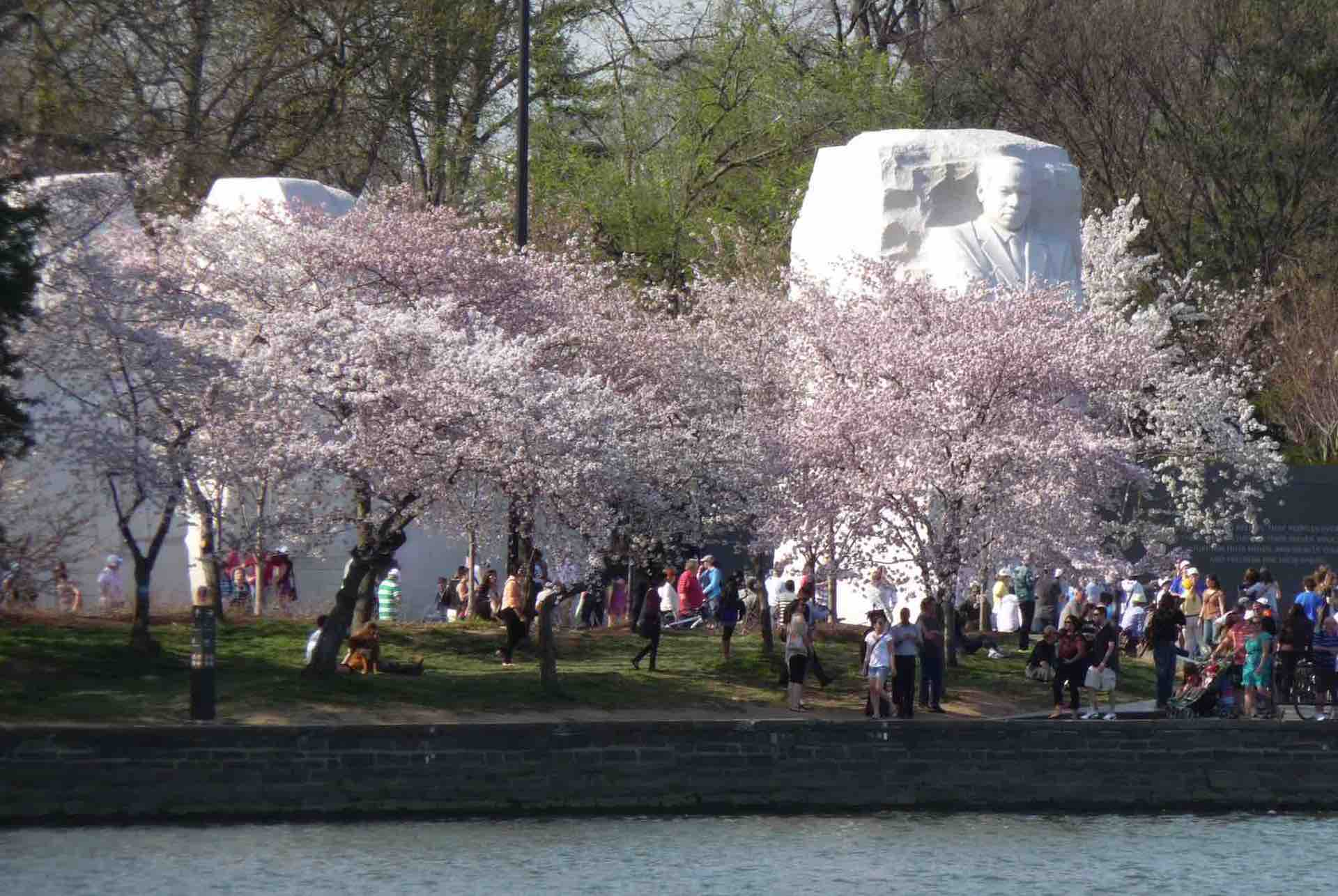 Martin Luther King Memorial, cherry blossoms, and the Reflecting Pool. Photo: Esther Ferington